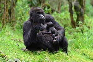 Gorilla With Baby  Dian  Fossey  Gorilla  Fund