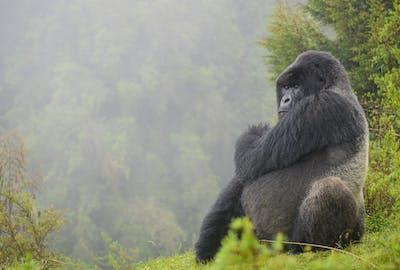 Isabukuru Silverback Dian Fossey Gorilla Fund