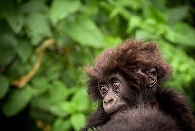Macibiri Gorilla Dian Fossey Gorilla Fund