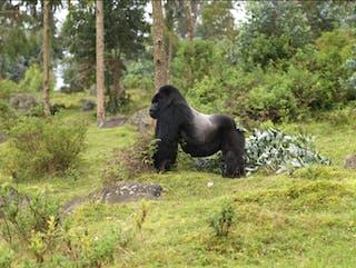 Silverback Gorilla Pnv Rwanda Development Board