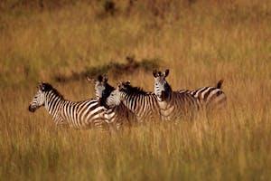Zebras  Akagera  Np  Rwanda  Tourism