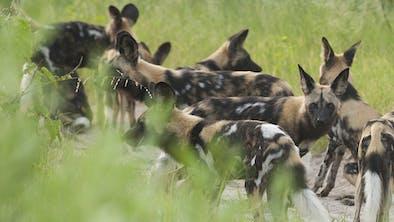 Wild Dogs Tanzania Tourist Board