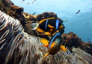 Sodwana Bay Clownfish