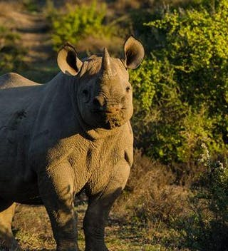 South Africa Kwandwe Rhino Conservation
