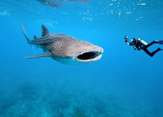 St Helena Diving Whale Sharks