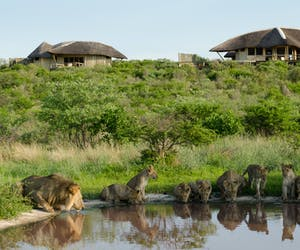 Kwando Tau Pan Lions At Waterhole