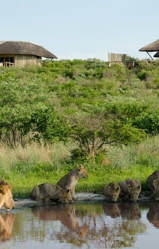 Kwando Tau Pan Lions At Waterhole