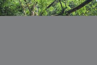 Tree Root Bridge