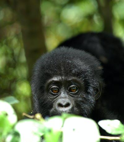 Baby Gorilla Robert Brierley