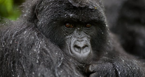 Bwindi Gorilla Volcanoes Safaris
