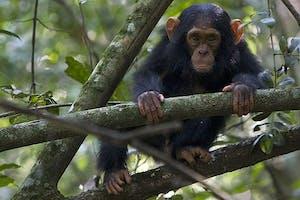 Chimpanzee  Chimps  Nest  Lodge