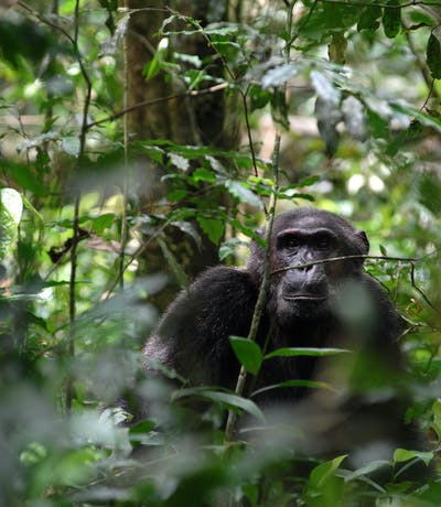 Chimpanzee Trekking Robert Brierley