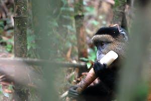Golden  Monkey  Eating  Bamboo  Robert  Brierley