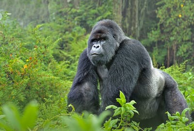 Gorilla Wwf