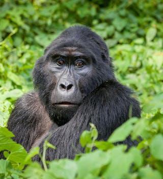 Gorilla  A  Robert  Brierley