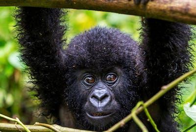 Infant Gorilla The Gorilla Organization