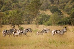 Zebra  Lake  Mburo  Rwakobo  Rock  Lodge
