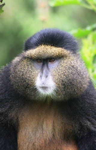 Virunga Lodge Golden Monkey