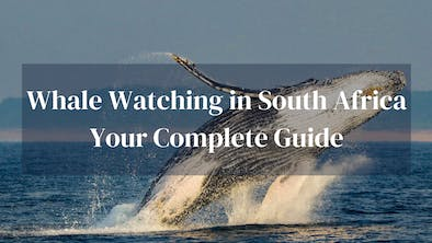 Whale Watching South Africa Guide