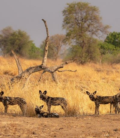 Wild Dogs Luambe National Park