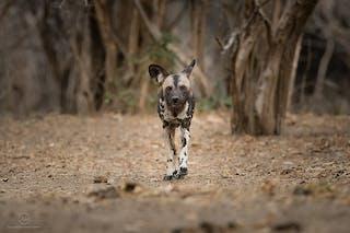 Wild Dogs Zimbabwe