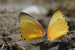 Namibia Caprivi Butterfly