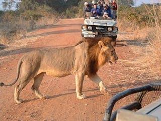 Zma16  South  Luangwa Lion